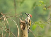 Woodpecker. Pecking the bamboo stock image