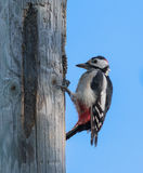Woodpecker pecking a cone Royalty Free Stock Photography