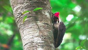 Woodpecker pecking at trunk closeup stock video footage
