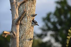 Woodpecker peeking out of tree nest in Florida royalty free stock image