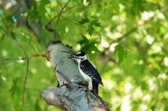 Woodpecker peludo Fotos de Stock