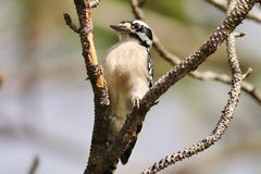 Woodpecker peludo Imagens de Stock