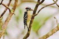 Woodpecker peludo Foto de Stock