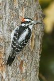 Woodpecker peludo em um pinho vermelho Fotografia de Stock Royalty Free