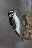 Woodpecker peludo masculino (villosus do Picoides) Fotografia de Stock