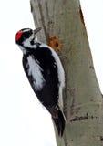 Woodpecker peludo masculino (villosus do Picoides) Imagem de Stock
