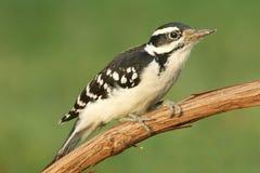 Woodpecker peludo (villosus do Picoides) Imagens de Stock