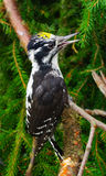 Woodpecker (Picoides tridactylus) Stock Photography