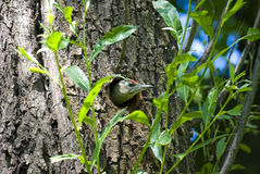 Woodpecker Picus canus peeking out of hollow Royalty Free Stock Image