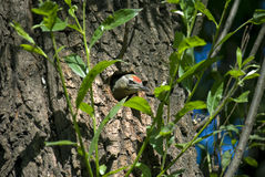 Woodpecker Picus canus peeking out of hollow Royalty Free Stock Photo