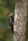 Woodpecker Pileated на Loxahatchee Стоковые Изображения