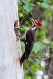 Woodpecker Pileated с младенцем Стоковые Фото