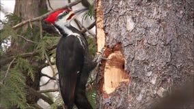 Woodpecker Pileated фуражирует для еды сток-видео