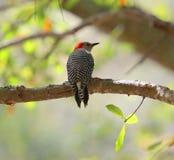 Woodpecker Pileated стоковая фотография rf