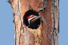 Woodpecker Pileated (pileatus Dryocopus) Стоковые Фотографии RF