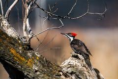 Woodpecker Pileated (pileatus Dryocopus) Стоковые Фото