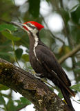 Woodpecker Pileated - pileatus Dryocopus Стоковые Фото
