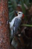 Woodpecker on a pine tree Stock Photos