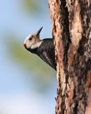 Woodpecker on pine tree Stock Images