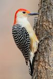 Woodpecker on a pine tree Royalty Free Stock Photo