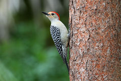 Woodpecker on a pine tree Stock Photo