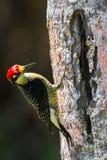 Woodpecker preto de Cheeked Foto de Stock