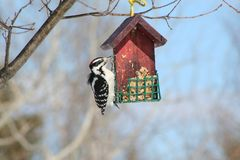 Woodpecker in Quebec. Canada, north America. Royalty Free Stock Image