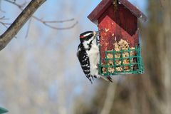 Woodpecker in Quebec. Canada, north America. Royalty Free Stock Images