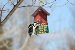 Woodpecker in Quebec. Canada, north America. Stock Images