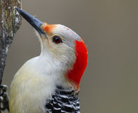 Woodpecker Red bellied Stock Photo