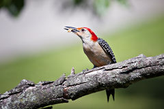 Woodpecker Red Bellied with food in mouth on limb Stock Image