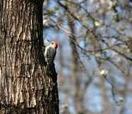 Woodpecker Red-Headed Imagem de Stock