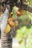 Woodpecker ` s Hoffman сидя в ладони кокоса Стоковая Фотография RF