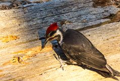 Woodpecker in Sequoia National Park. Search some insect inside a fallen tree stock photos