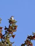 Woodpecker Shafted vermelho da cintilação no pinho Imagens de Stock