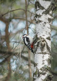 A woodpecker sits on a birch trunk. The woodpecker sits on the trunk of the birch and cuts the bark Royalty Free Stock Images