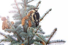 Woodpecker sits on Christmas trees with cones with sunny hotspot. Winter, wildlife, birds Stock Images