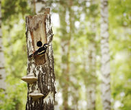 Woodpecker sits next to a hollow on the dry birch Royalty Free Stock Photos