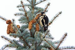 Woodpecker sits on the tree with cones Stock Image