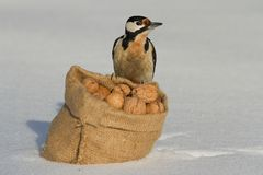 Woodpecker sitting on a bag of nuts on white snow. Winter Stock Photos