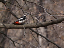 Woodpecker. Sitting on branch of tree Stock Photography