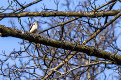 Woodpecker sitting on a branch in a tree Stock Photo