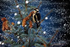 Woodpecker is sitting on a fir tree during snowfall Stock Image