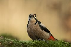 Woodpecker sitting on lichen shore of pond water in forest with clear bokeh background and saturated colors, Germany. Black and white bird in nature forest stock images