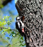 Woodpecker in spring Stock Image