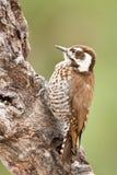 woodpecker strickland Аризоны s стоковые фотографии rf