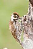 woodpecker strickland Аризоны s стоковая фотография rf
