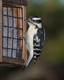 Woodpecker and Suet. A downy woodpecker hangs from the cage of a suet feeder. Black eyes wide open, the bird looks at the peanut suet treat royalty free stock images