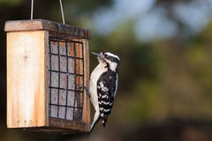 Woodpecker and Suet Stock Photo