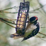 Woodpecker hanging from the suet feeder. Woodpecker on the suet feeder Stock Photography